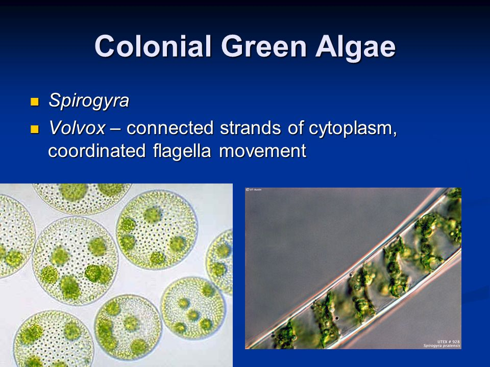 Colonial Green Algae Spirogyra Spirogyra Volvox – connected strands of cytoplasm, coordinated flagella movement Volvox – connected strands of cytoplas
