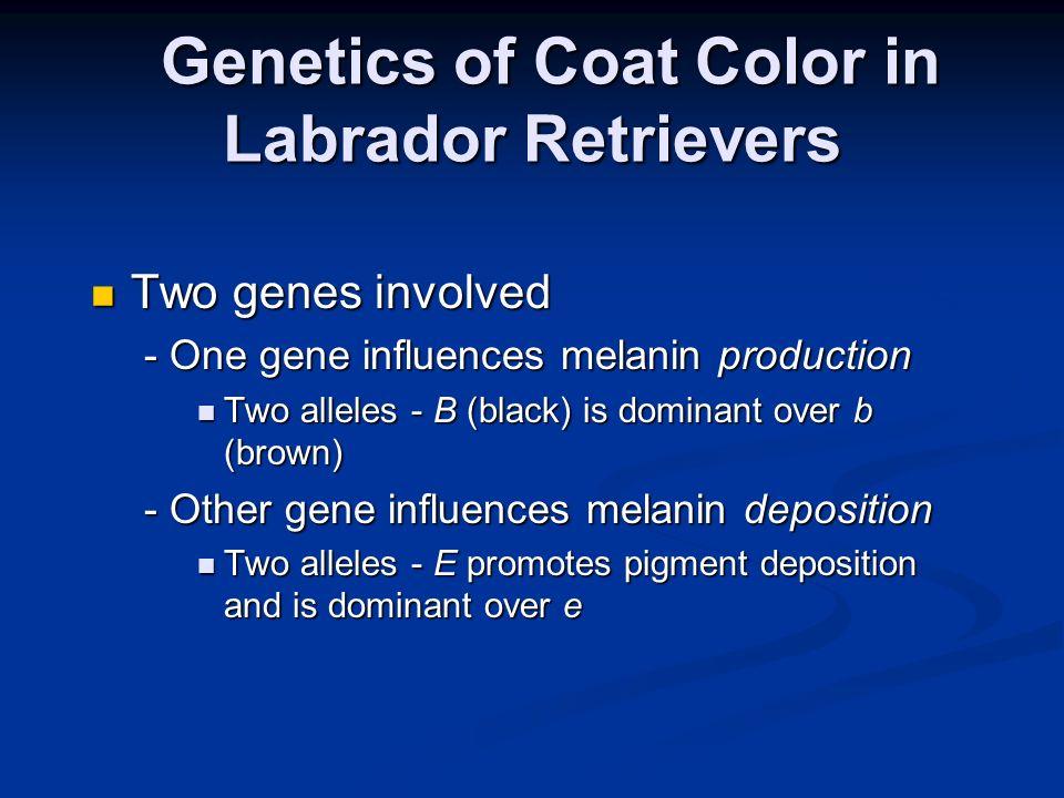 Genetics of Coat Color in Labrador Retrievers Genetics of Coat Color in Labrador Retrievers Two genes involved Two genes involved - One gene influence