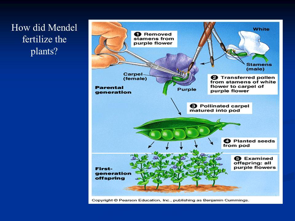 How did Mendel fertilize the plants?