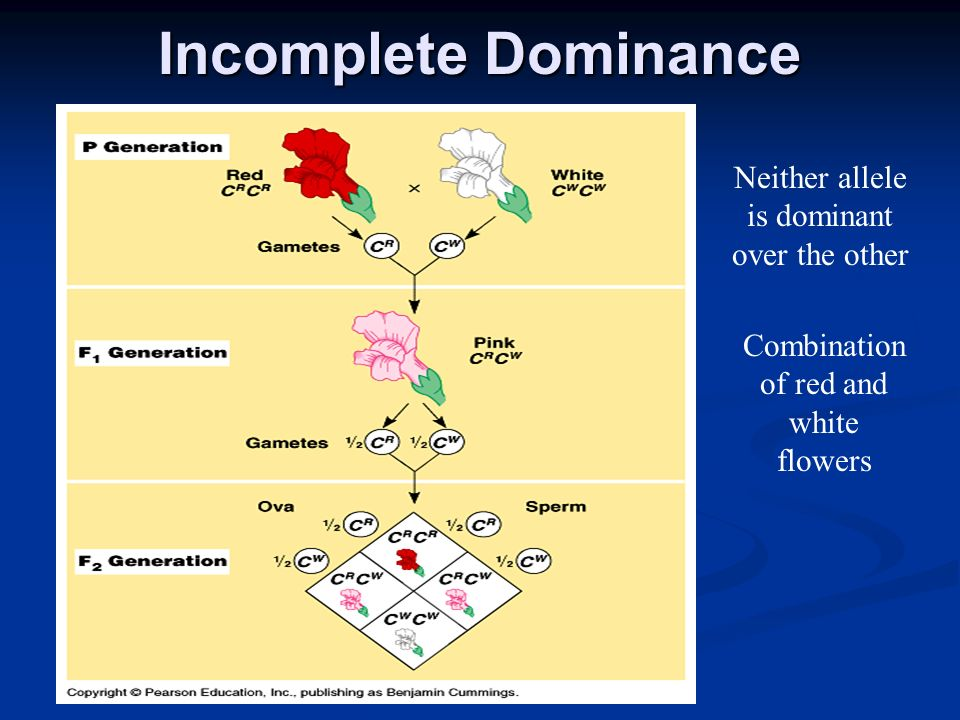 Incomplete Dominance Neither allele is dominant over the other Combination of red and white flowers