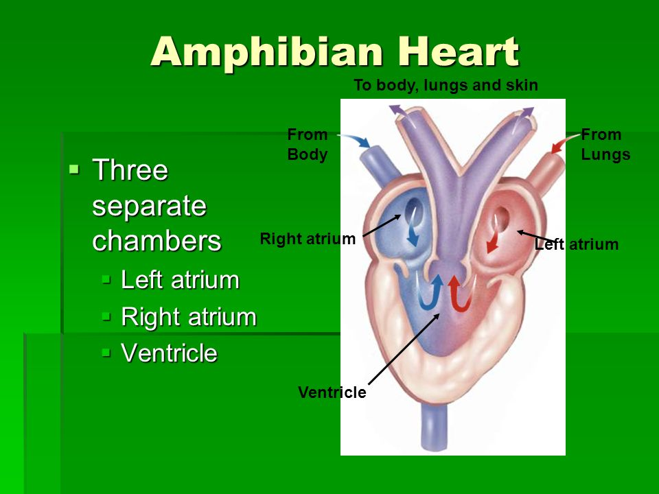 Amphibian Heart Three separate chambers Three separate chambers Left atrium Left atrium Right atrium Right atrium Ventricle Ventricle Right atrium Left atrium Ventricle To body, lungs and skin From Body From Lungs