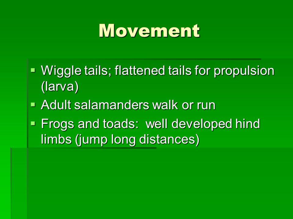 Movement Wiggle tails; flattened tails for propulsion (larva) Wiggle tails; flattened tails for propulsion (larva) Adult salamanders walk or run Adult