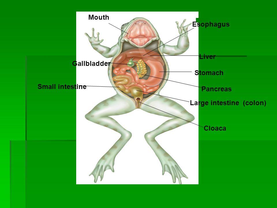 Stomach Esophagus Mouth Small intestine Gallbladder Liver Pancreas Large intestine (colon) Cloaca