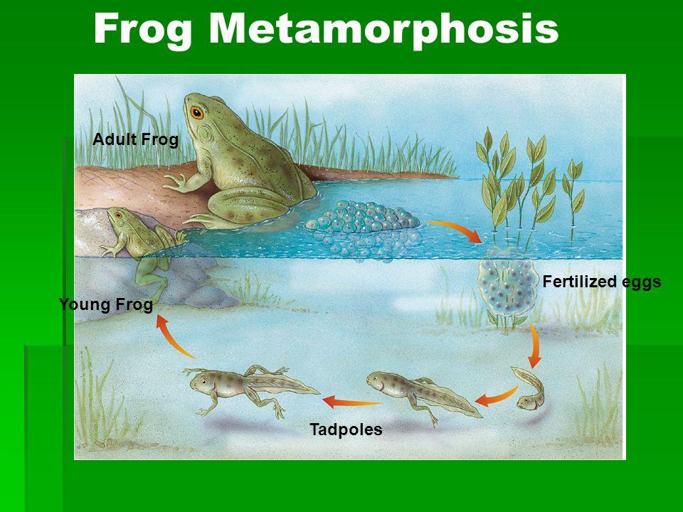 Frog Metamorphosis Fertilized eggs Tadpoles Young Frog Adult Frog
