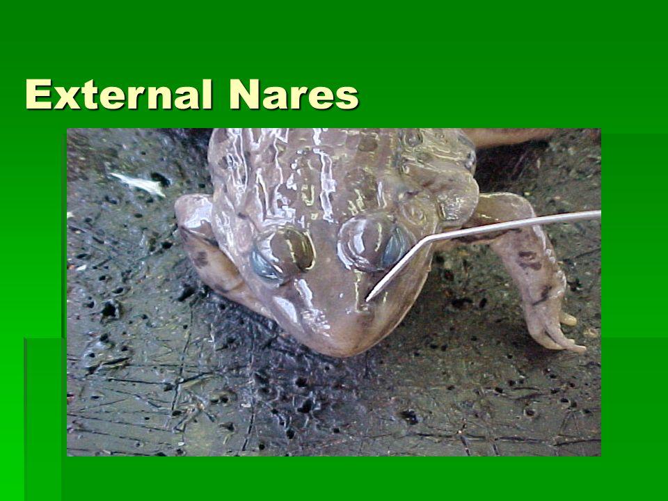 External Nares