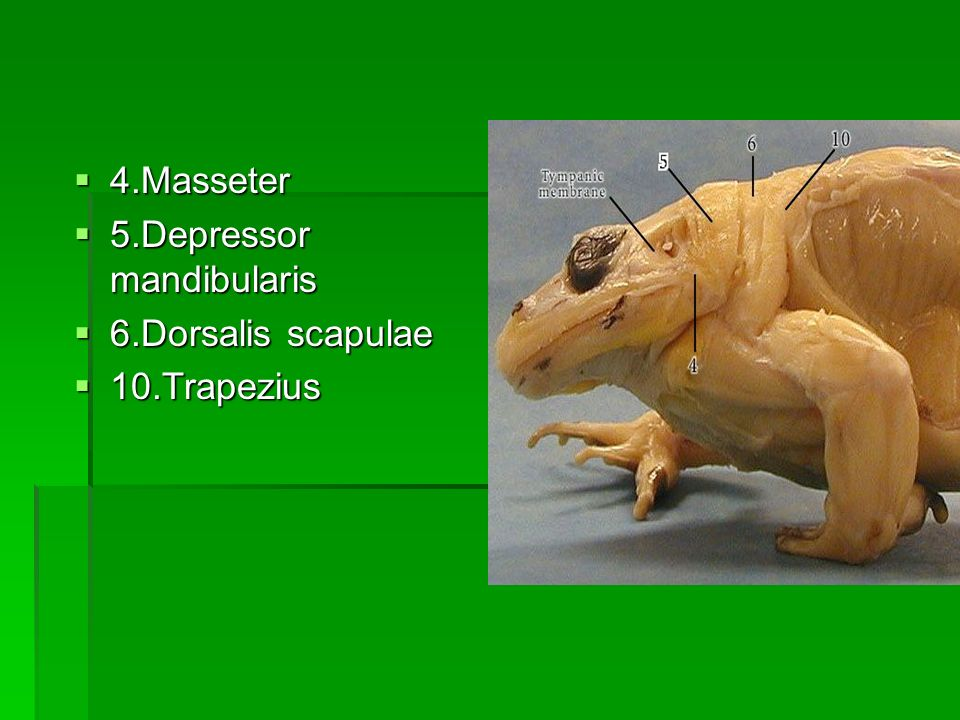 4.Masseter 4.Masseter 5.Depressor mandibularis 5.Depressor mandibularis 6.Dorsalis scapulae 6.Dorsalis scapulae 10.Trapezius 10.Trapezius