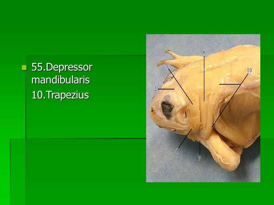 55.Depressor mandibularis 55.Depressor mandibularis10.Trapezius