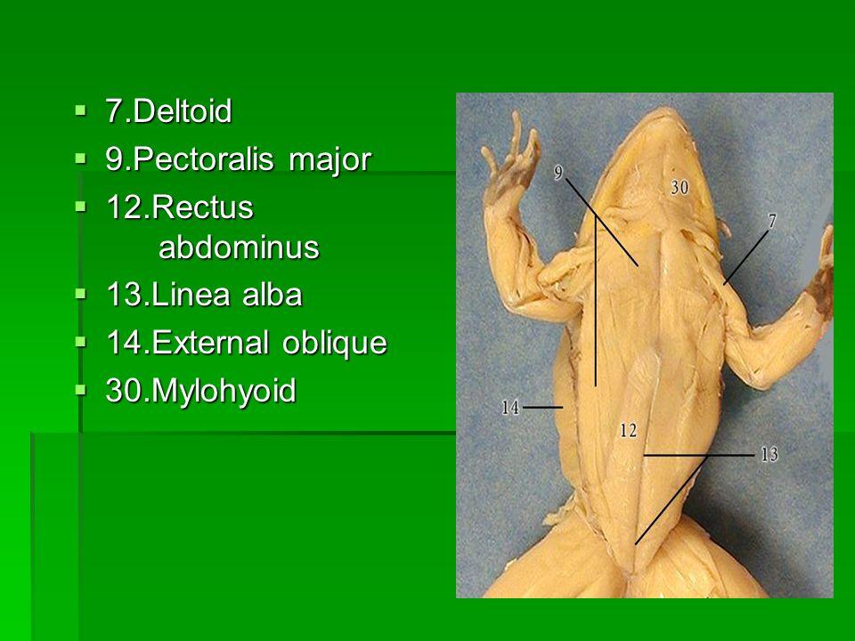 7.Deltoid 7.Deltoid 9.Pectoralis major 9.Pectoralis major 12.Rectus abdominus 12.Rectus abdominus 13.Linea alba 13.Linea alba 14.External oblique 14.E