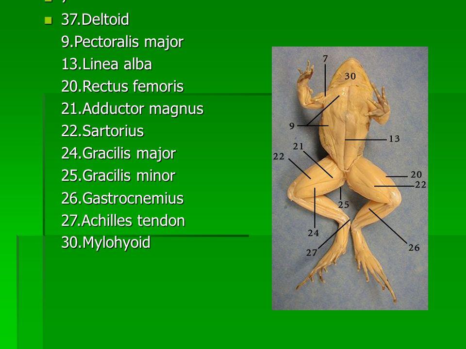 7 37.Deltoid 37.Deltoid 9.Pectoralis major 13.Linea alba 20.Rectus femoris 21.Adductor magnus 22.Sartorius 24.Gracilis major 25.Gracilis minor 26.Gast