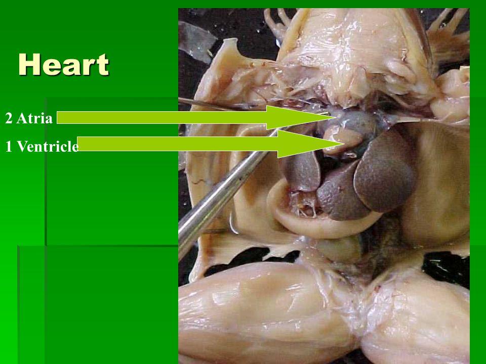 Heart 2 Atria 1 Ventricle