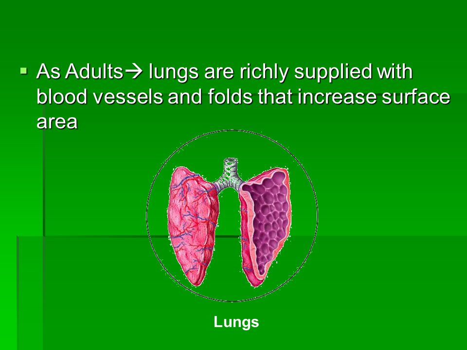 As Adults lungs are richly supplied with blood vessels and folds that increase surface area As Adults lungs are richly supplied with blood vessels and folds that increase surface area Lungs