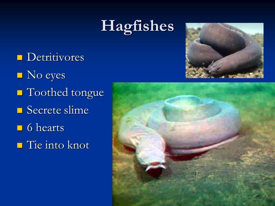 Hagfishes Detritivores Detritivores No eyes No eyes Toothed tongue Toothed tongue Secrete slime Secrete slime 6 hearts 6 hearts Tie into knot Tie into