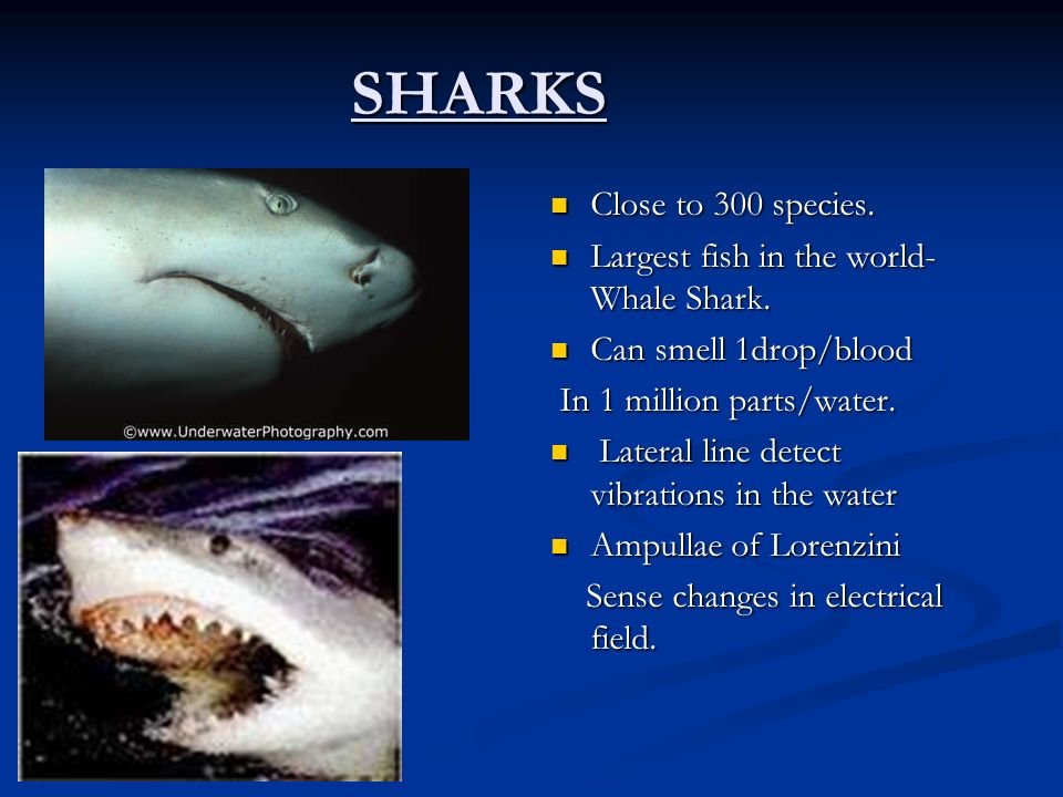 SHARKS Close to 300 species. Largest fish in the world- Whale Shark. Can smell 1drop/blood In 1 million parts/water. Lateral line detect vibrations in