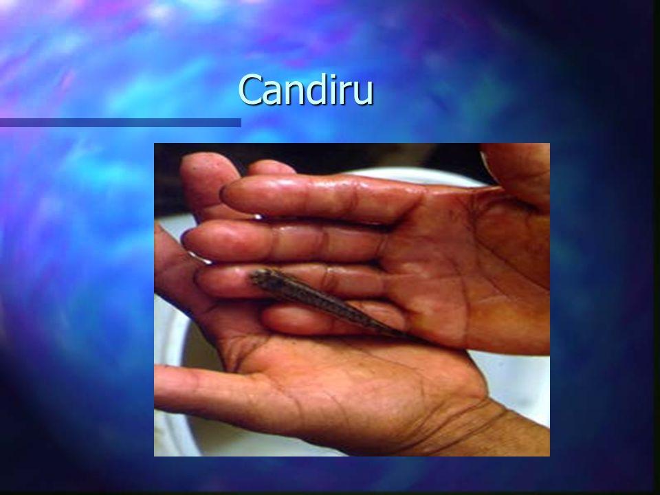 Candiru Candiru