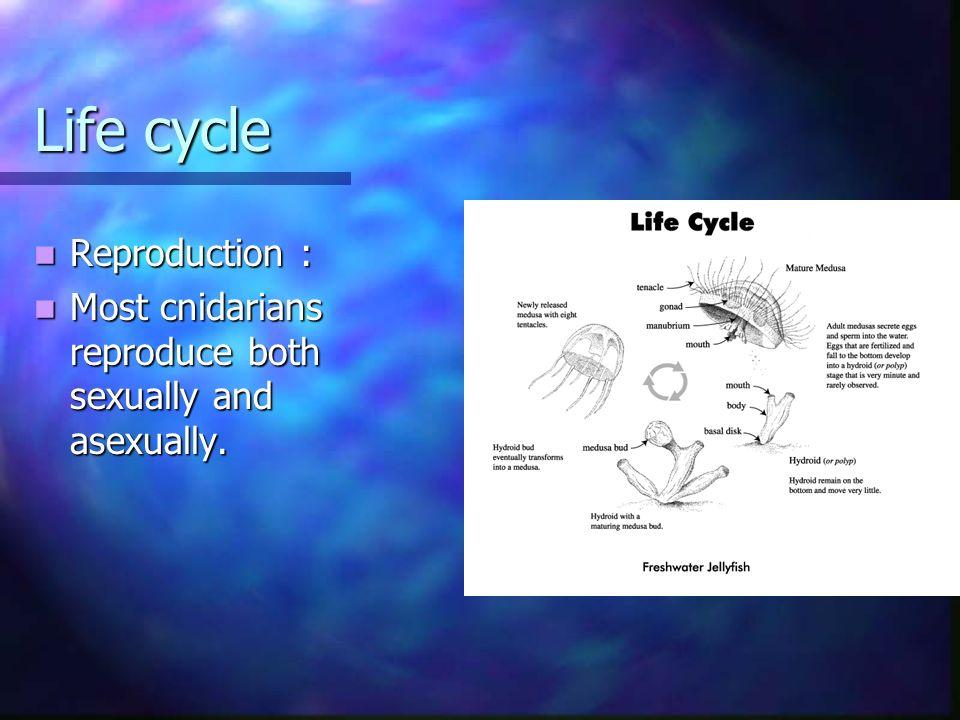 Life cycle Reproduction : Reproduction : Most cnidarians reproduce both sexually and asexually. Most cnidarians reproduce both sexually and asexually.