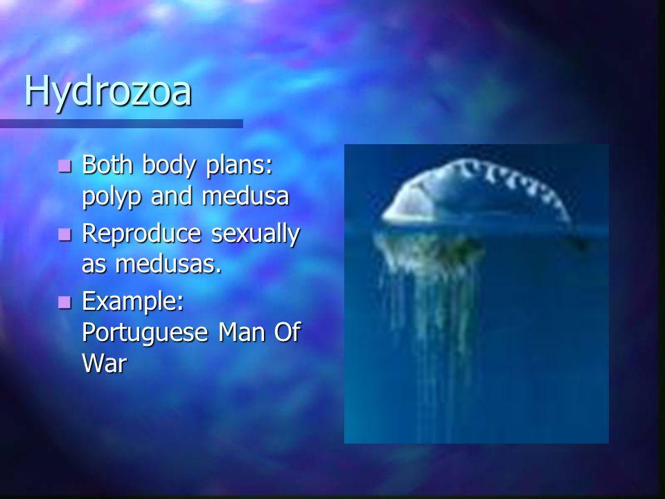 Hydrozoa Both body plans: polyp and medusa Both body plans: polyp and medusa Reproduce sexually as medusas. Reproduce sexually as medusas. Example: Po