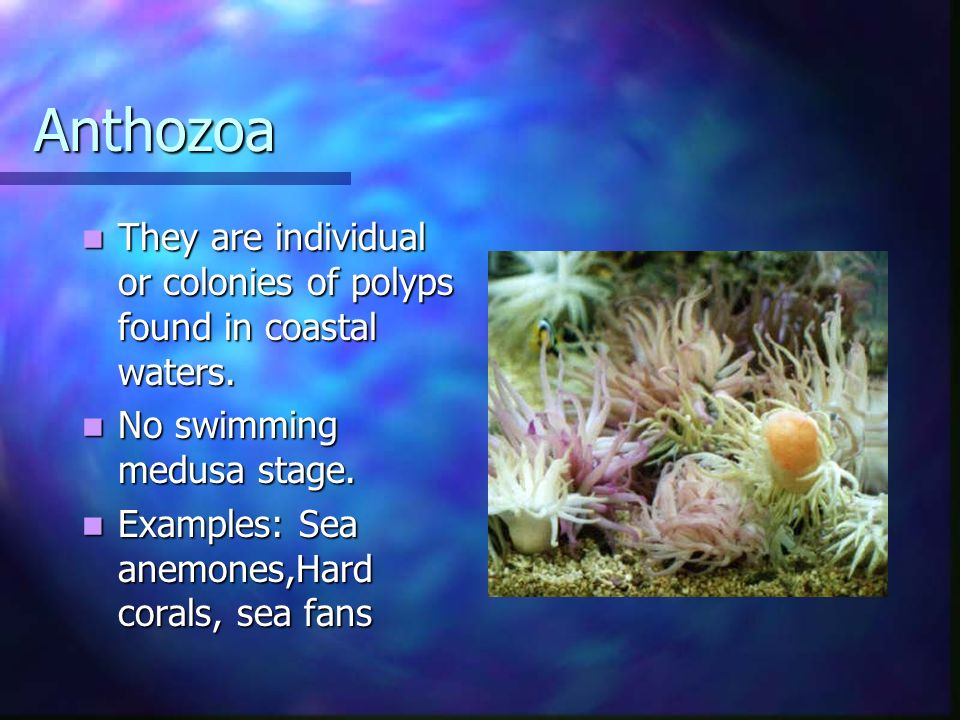 Anthozoa They are individual or colonies of polyps found in coastal waters. They are individual or colonies of polyps found in coastal waters. No swim