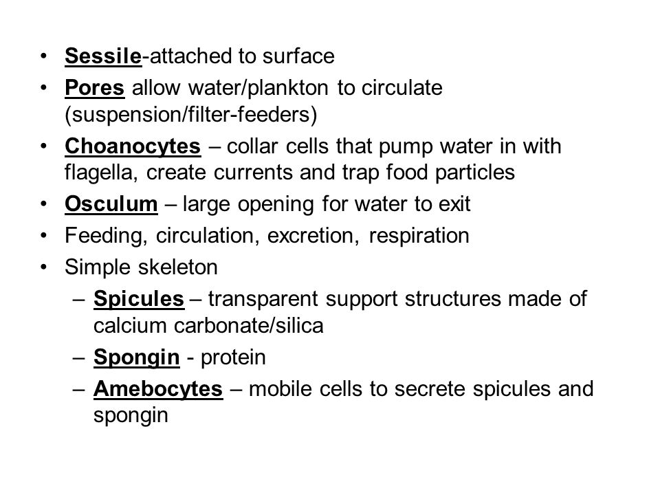 Sessile-attached to surface Pores allow water/plankton to circulate (suspension/filter-feeders) Choanocytes – collar cells that pump water in with fla