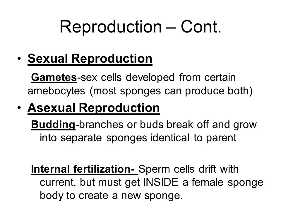 Reproduction – Cont. Sexual Reproduction Gametes-sex cells developed from certain amebocytes (most sponges can produce both) Asexual Reproduction Budd