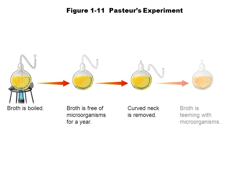 Broth is boiled.Broth is free of microorganisms for a year. Curved neck is removed. Broth is teeming with microorganisms. Figure 1-11 Pasteurs Experim