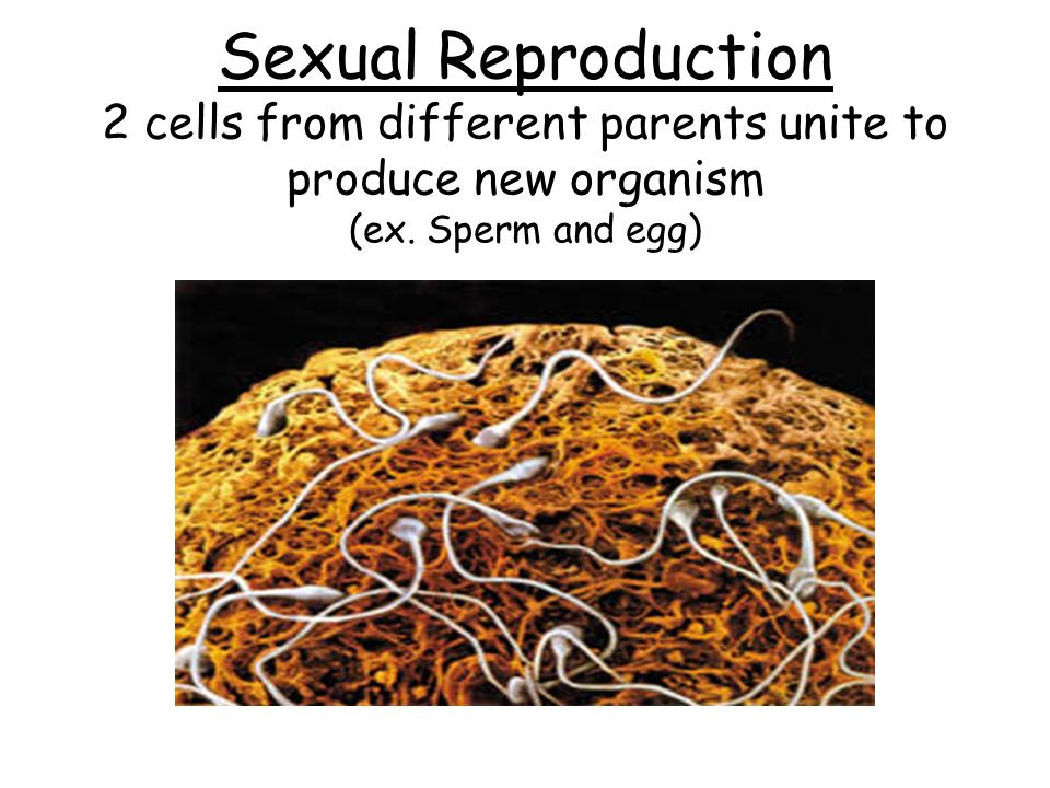 Sexual Reproduction 2 cells from different parents unite to produce new organism (ex. Sperm and egg)