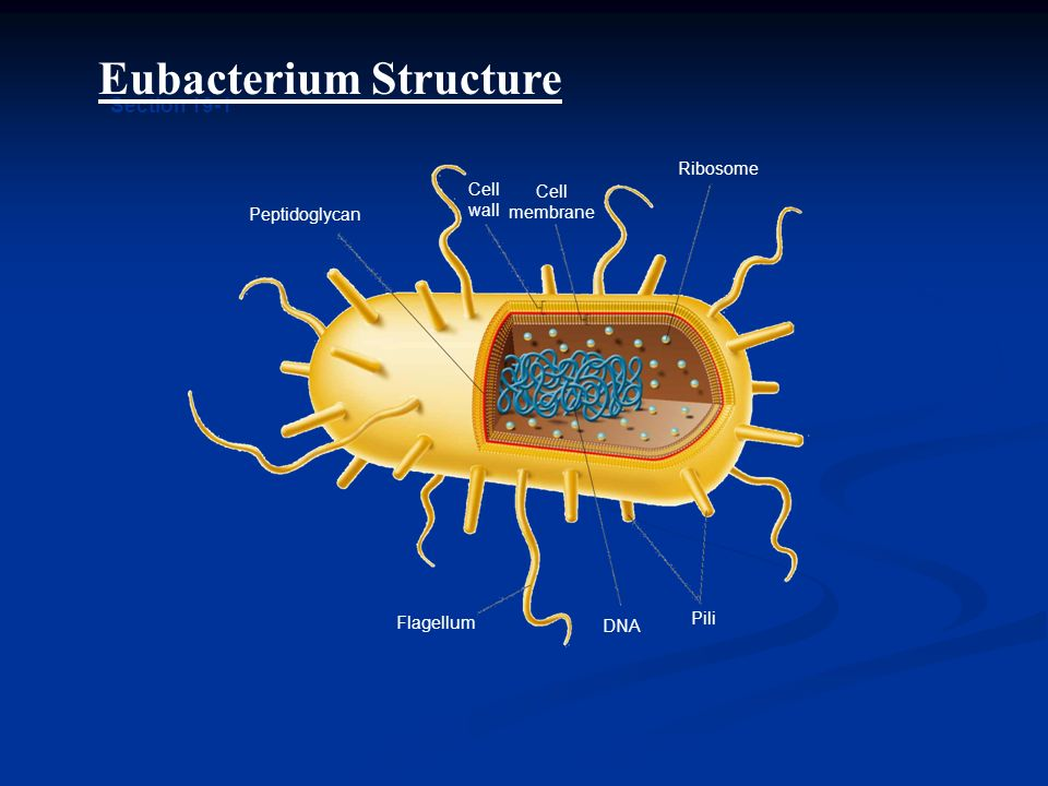Peptidoglycan Cell wall Cell membrane Ribosome Flagellum DNA Pili Section 19-1 Eubacterium Structure