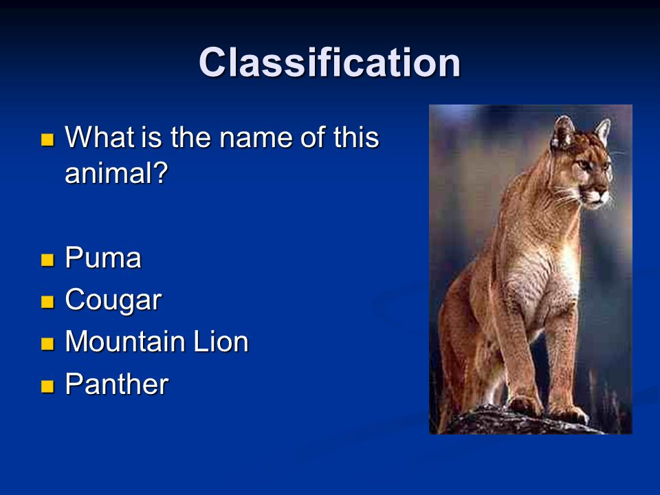 Classification What is the name of this animal? What is the name of this animal? Puma Puma Cougar Cougar Mountain Lion Mountain Lion Panther Panther