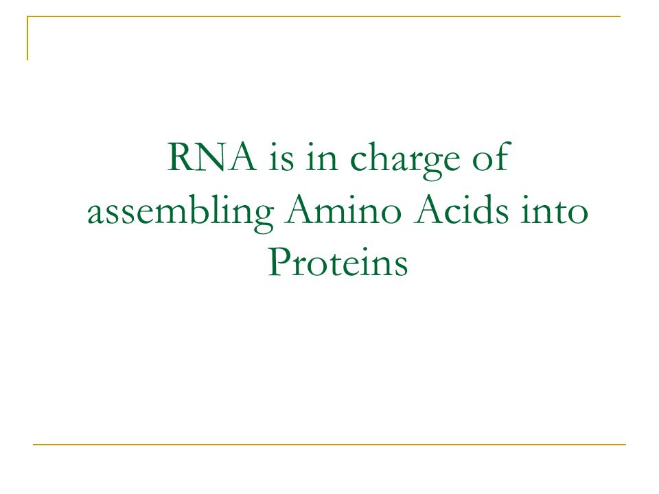 RNA is in charge of assembling Amino Acids into Proteins