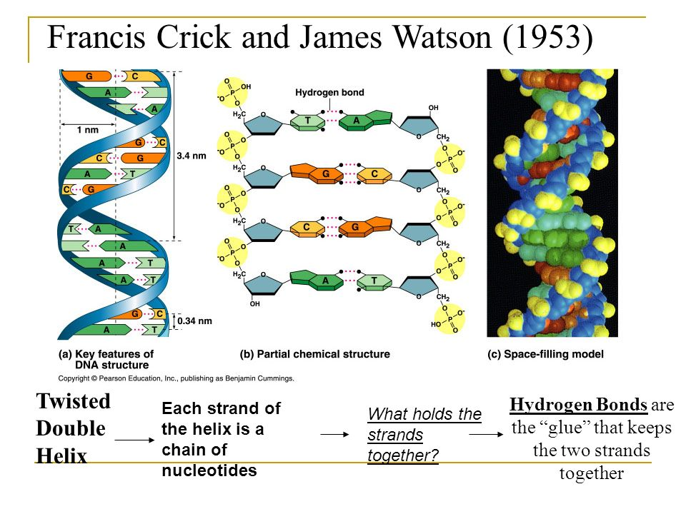 Francis Crick and James Watson (1953) Twisted Double Helix Hydrogen Bonds are the glue that keeps the two strands together Each strand of the helix is