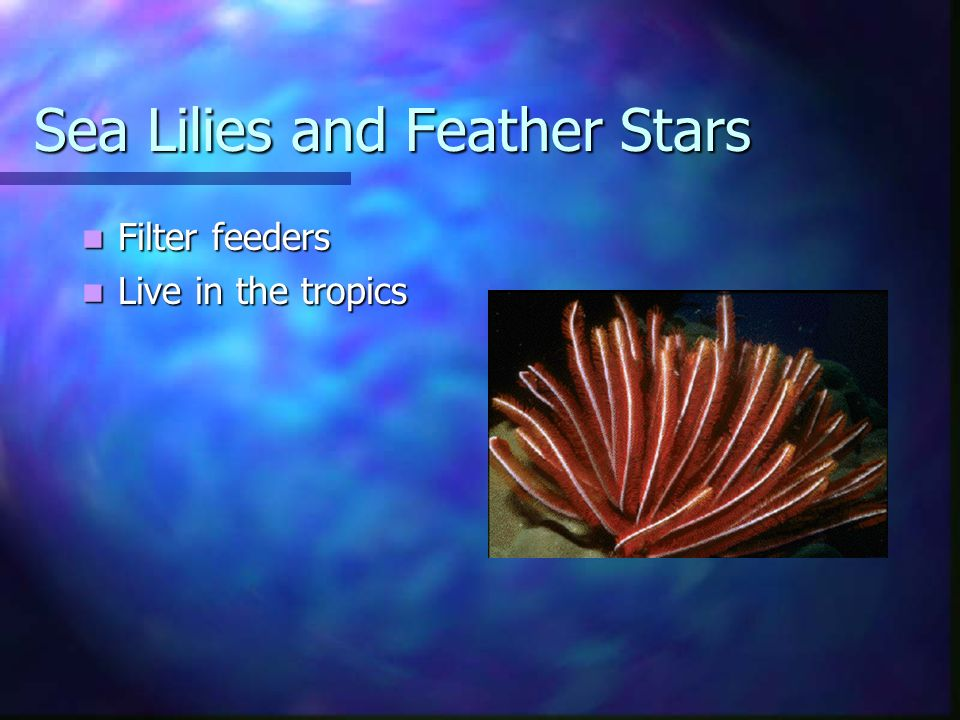 Sea Lilies and Feather Stars Filter feeders Filter feeders Live in the tropics Live in the tropics