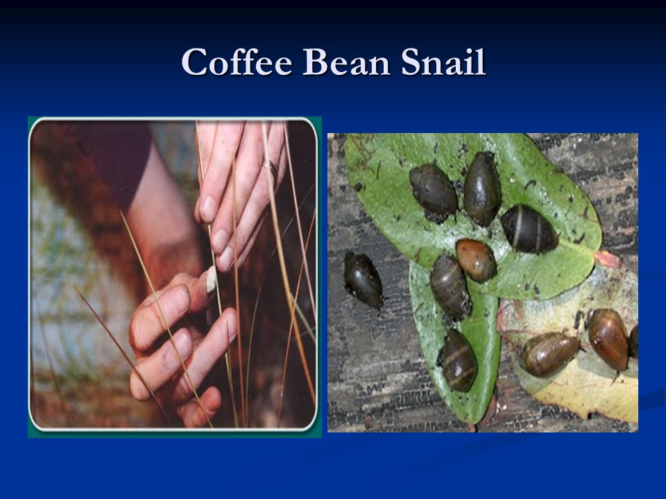 Coffee Bean Snail