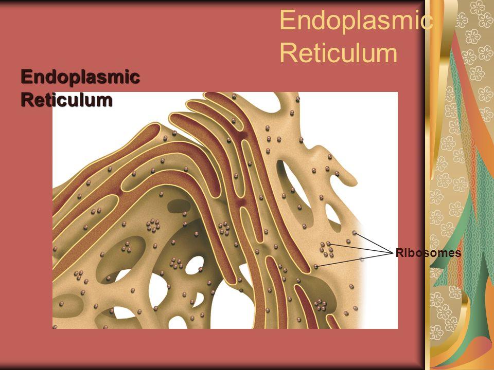 Endoplasmic Reticulum Ribosomes Endoplasmic Reticulum