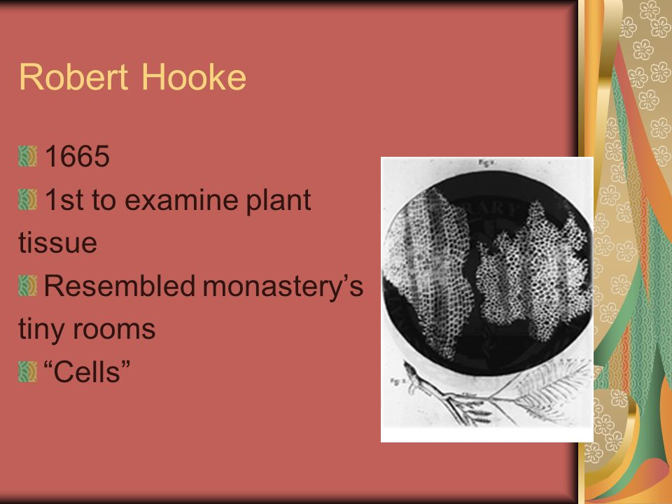 Robert Hooke 1665 1st to examine plant tissue Resembled monasterys tiny rooms Cells