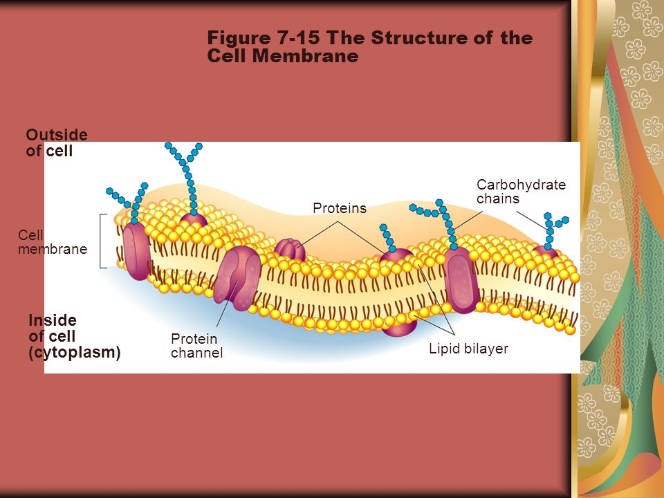 Outside of cell Inside of cell (cytoplasm) Cell membrane Proteins Protein channel Lipid bilayer Carbohydrate chains Figure 7-15 The Structure of the C