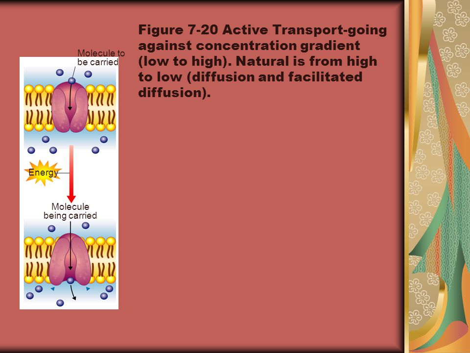 Molecule to be carried Molecule being carried Energy Figure 7-20 Active Transport-going against concentration gradient (low to high). Natural is from