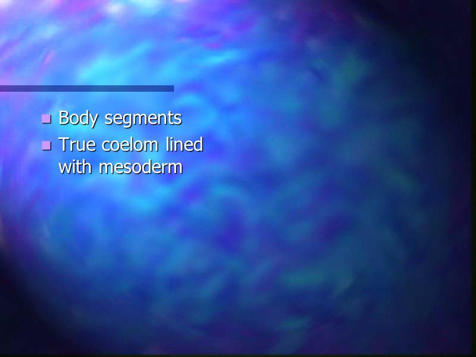 Body segments Body segments True coelom lined with mesoderm True coelom lined with mesoderm