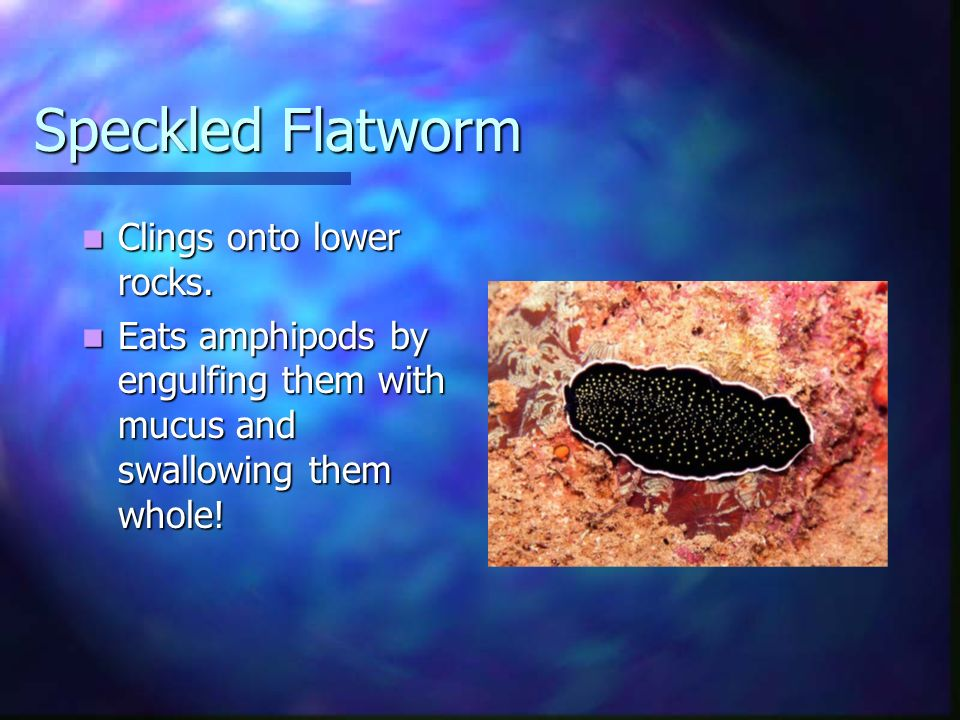 Speckled Flatworm Clings onto lower rocks. Clings onto lower rocks. Eats amphipods by engulfing them with mucus and swallowing them whole! Eats amphip