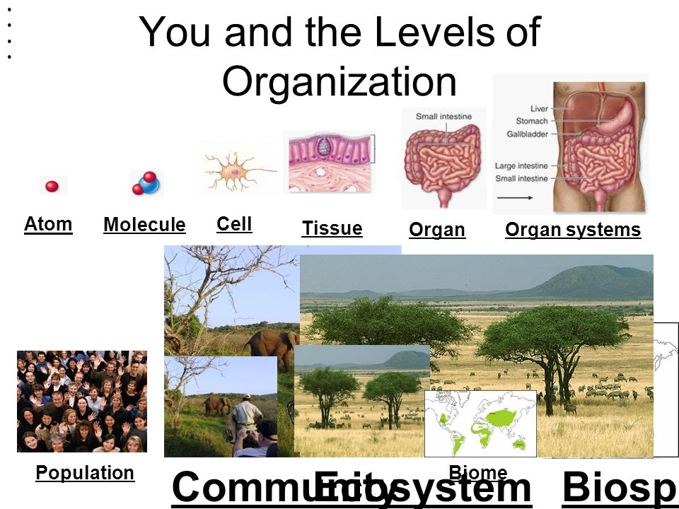 You and the Levels of Organization You AtomMoleculeCell Tissue BiomePopulation Organ systemsOrgan CommunityEcosystemBiosphere OrganisM