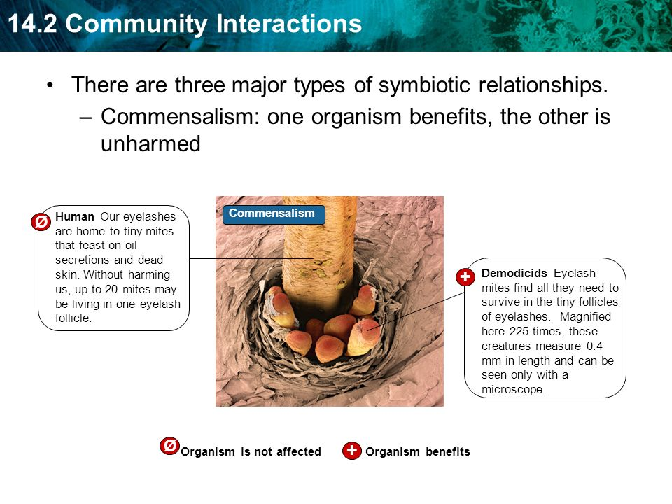 14.2 Community Interactions –Commensalism: one organism benefits, the other is unharmed Human Our eyelashes are home to tiny mites that feast on oil s