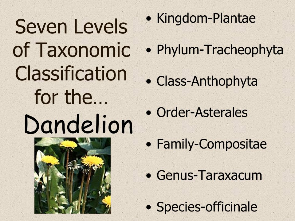 Seven Levels of Taxonomic Classification for the… Kingdom-Plantae Phylum-Tracheophyta Class-Anthophyta Order-Asterales Family-Compositae Genus-Taraxac