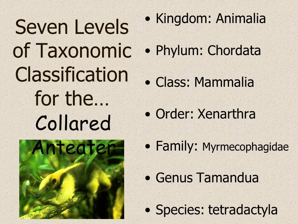 Seven Levels of Taxonomic Classification for the… Kingdom: Animalia Phylum: Chordata Class: Mammalia Order: Xenarthra Family: Myrmecophagidae Genus Ta