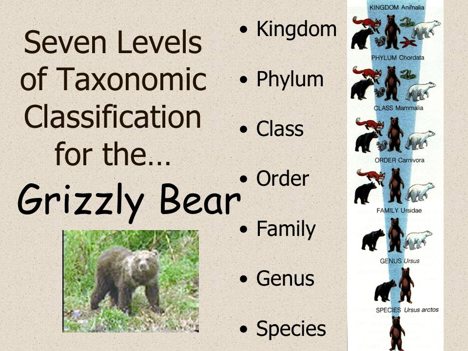 Seven Levels of Taxonomic Classification for the… Kingdom Phylum Class Order Family Genus Species Grizzly Bear