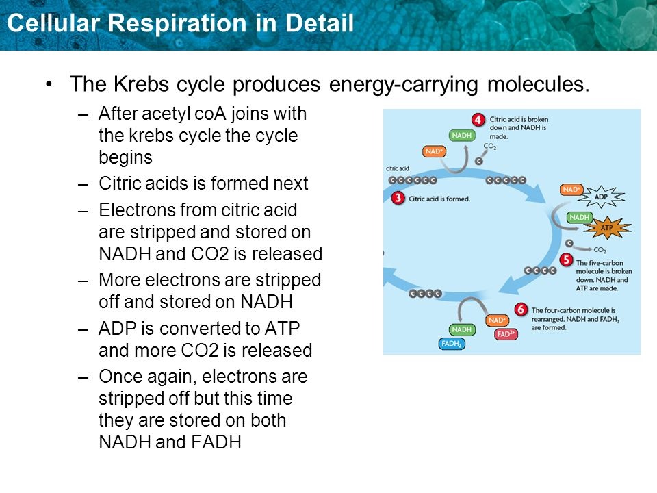 Cellular Respiration in Detail –After acetyl coA joins with the krebs cycle the cycle begins –Citric acids is formed next –Electrons from citric acid