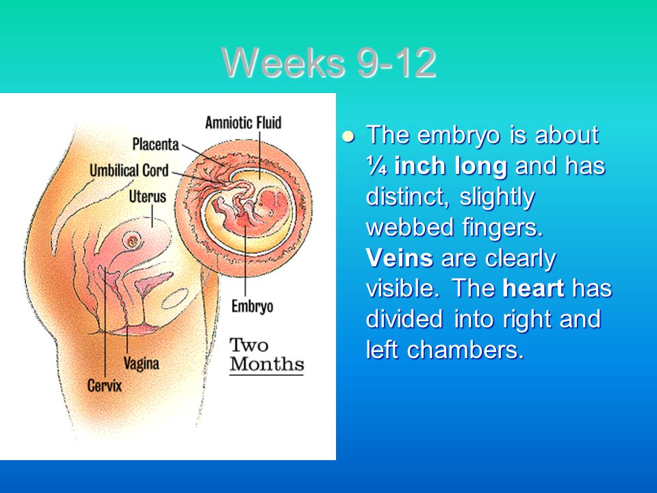 Weeks 9-12 The embryo is about ¼ inch long and has distinct, slightly webbed fingers. Veins are clearly visible. The heart has divided into right and