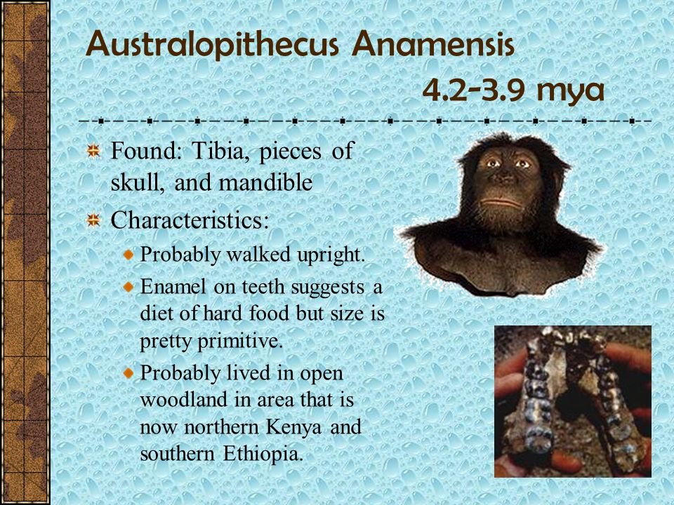 The Australopithecines Means Southern Ape Australopithecus was an erect walking ape that was a member of the hominid family There were at least 5 kind