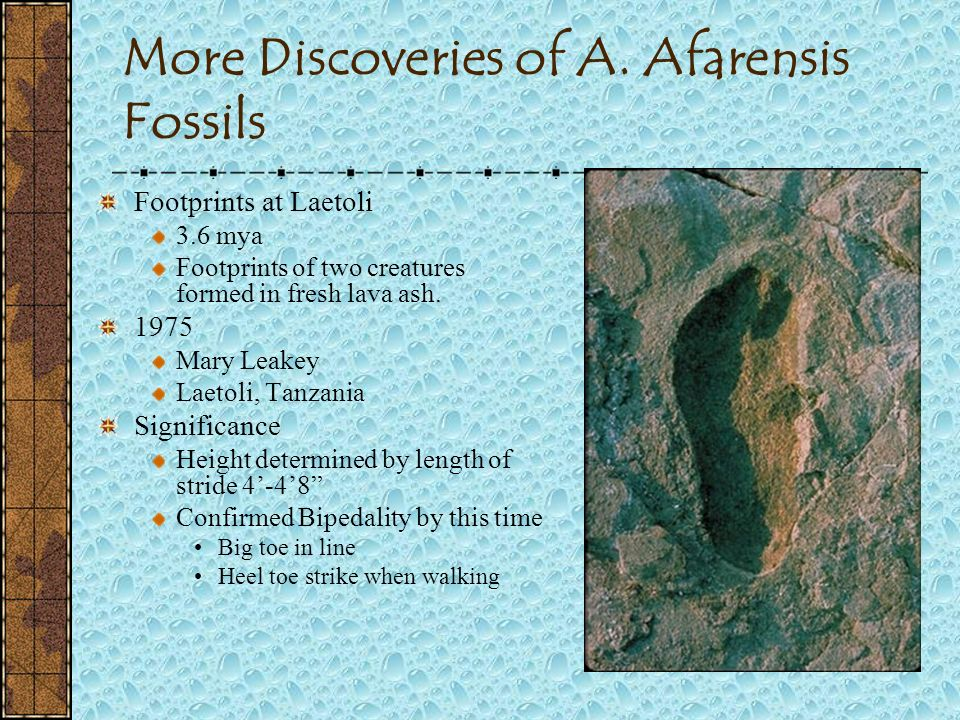 More Discoveries of A. Afarensis Fossils AL 129 Complete Knee Joint 1976 Donald Johanson Hadar Region of Ethiopia Significance Shows angle of femur to