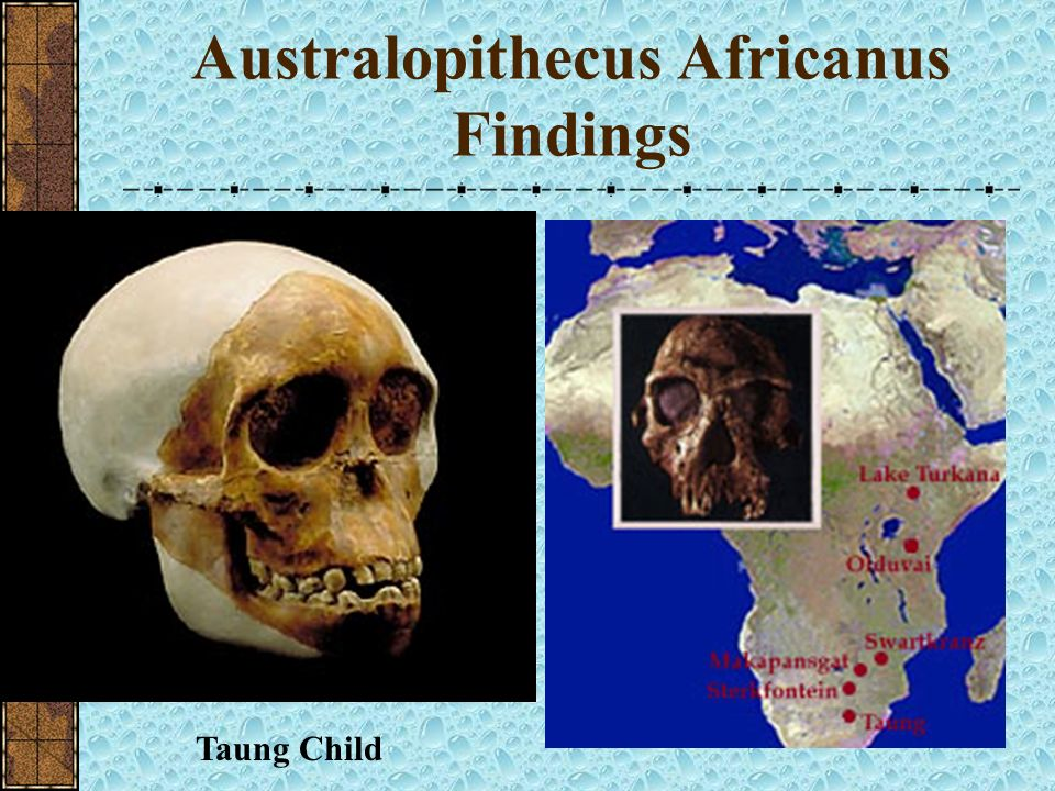 Australopithecus Africanus 3.3-2.5 mya Southern Apeman of Africa First Australopithicine to be identified Raymond Darts Taung Child (1925) The species