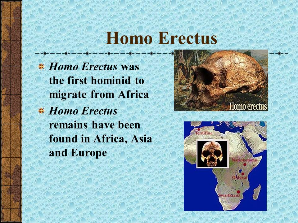 Homo Erectus Homo Erectus made tools and lived a hunter-gatherer lifestyle Diet included plants and animals