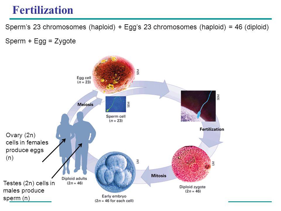 Fertilization Sperms 23 chromosomes (haploid) + Eggs 23 chromosomes (haploid) = 46 (diploid) Sperm + Egg = Zygote Ovary (2n) cells in females produce