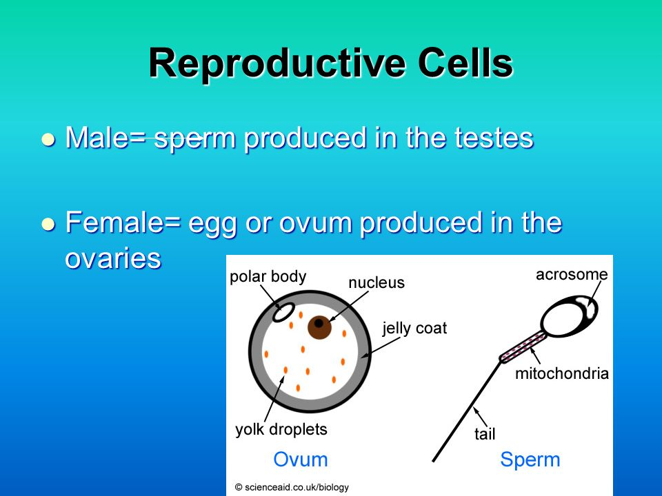 Reproductive Cells Male= sperm produced in the testes Male= sperm produced in the testes Female= egg or ovum produced in the ovaries Female= egg or ov